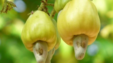 "Photo of The hills of Carambolim loose jumbo-sized cashew nut ""botto"""