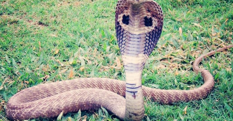 snake, Spectacled Cobra, Goa