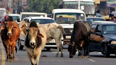 Photo of Solution to stray cattle menace is to impound them every 15 days