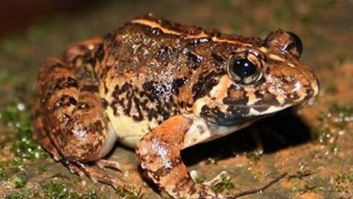 Photo of A new species of frog identified in Goa's part of the Western Ghats