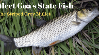 Photo of Meet Goa's State Fish, the Striped Grey Mullet or Shevtto