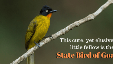 Photo of This cute, yet elusive little fellow is the State Bird of Goa