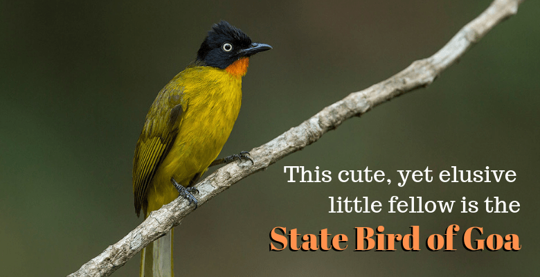 Flame Throated Bulbul the State Bird of Goa