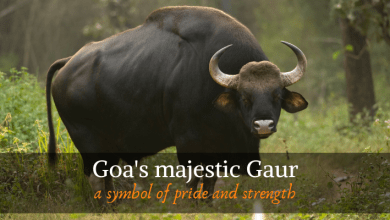 Photo of The majestic Gaur, a symbol of pride and strength for Goa