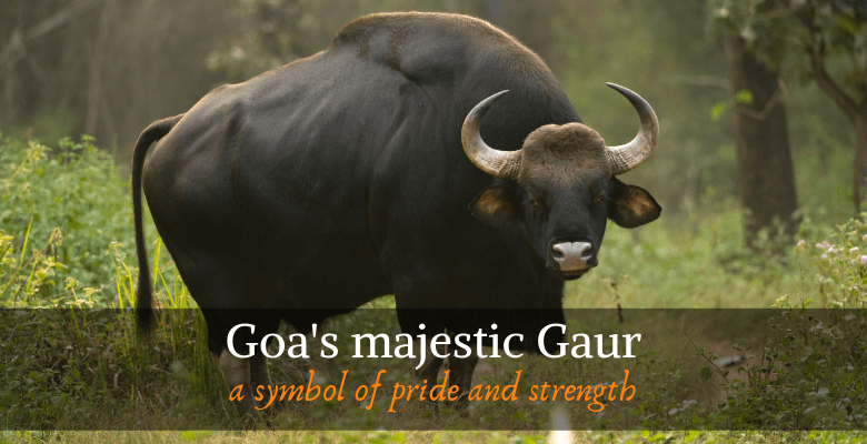 The Gaur or Indian Bison, State Animal of Goa