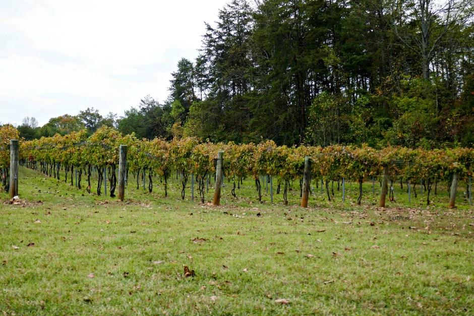 Grape vines at Divine Llama Winery