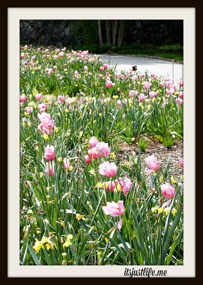 tulips5