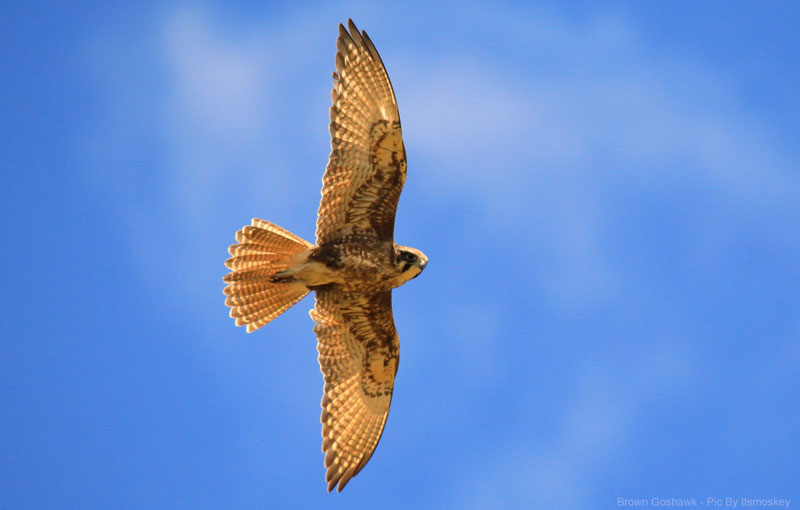 Brown Goshawk inflight