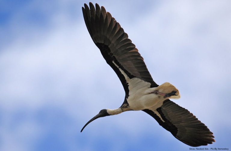 Straw Necked Ibis Inflight