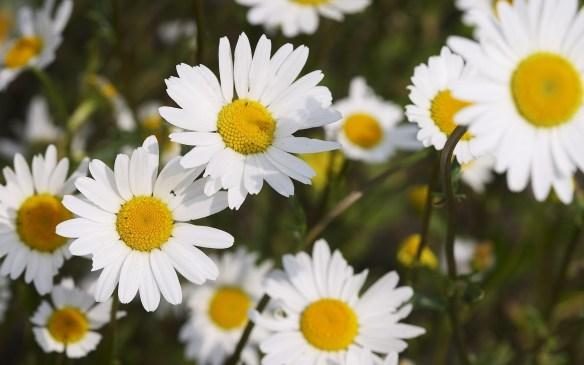 6854447-chamomile-flowers