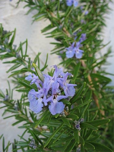 rosemary-flower-4