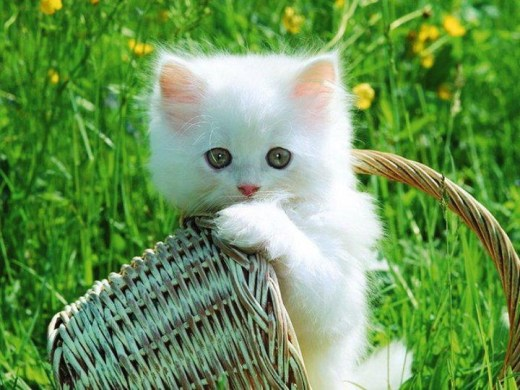 white color-cat-HD-wallpaper