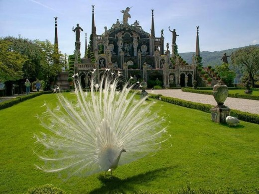 white-peacock-picture for desktop PC
