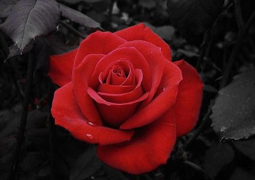 Most-Beautiful-Red-Rose-with-leaf-Photo 2013 2014