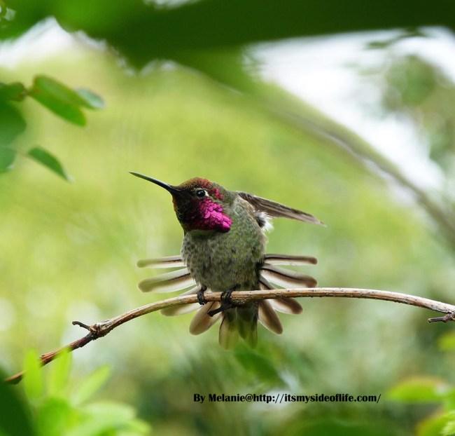 hummingbirdflutter