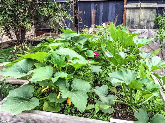 The squash and Melon patch. Different Varieties, and flowers in between