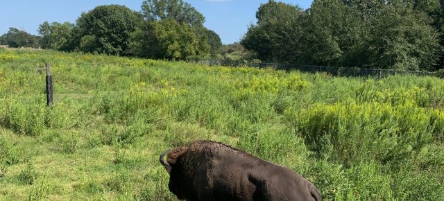 armand bayou bison