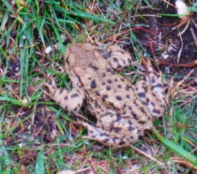 Small speckled frog