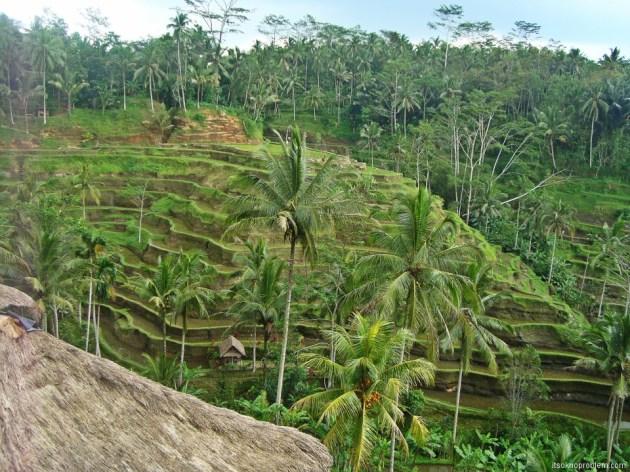 Рисовые поля. Bali. Indonesia