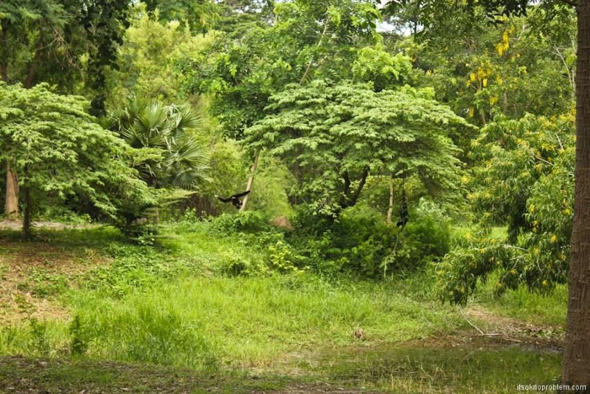 Найди гиббона в лесном парке в Таиланде