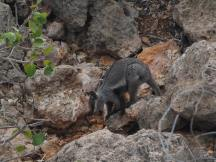 Baby Rock Wallaby
