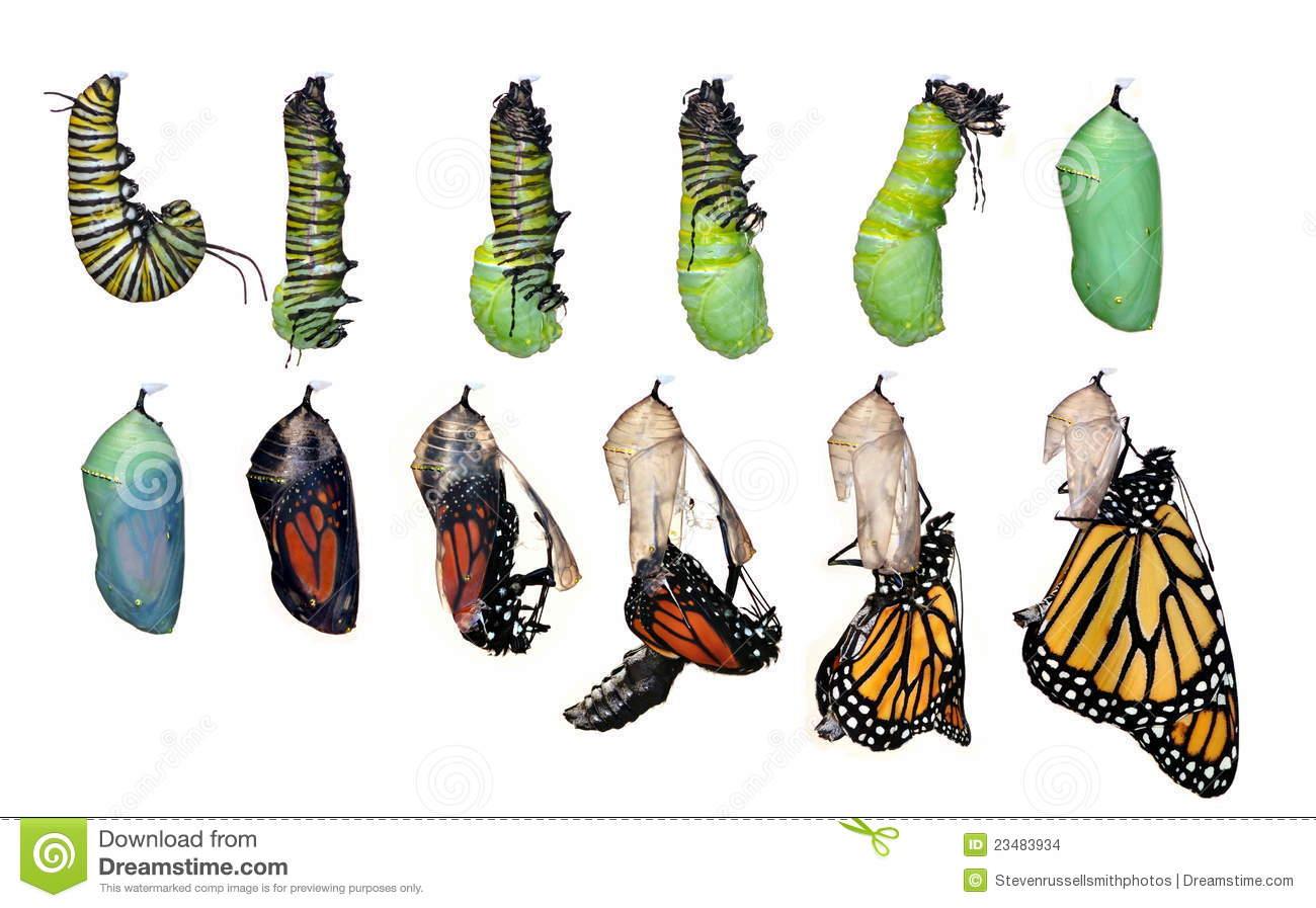 Monarch Butterfly Life Cycle Danaus Plexippus