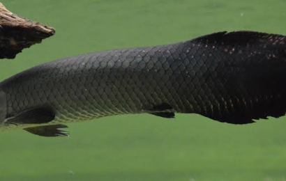 Can you Keep Arapaima in Fish Aquariums ?