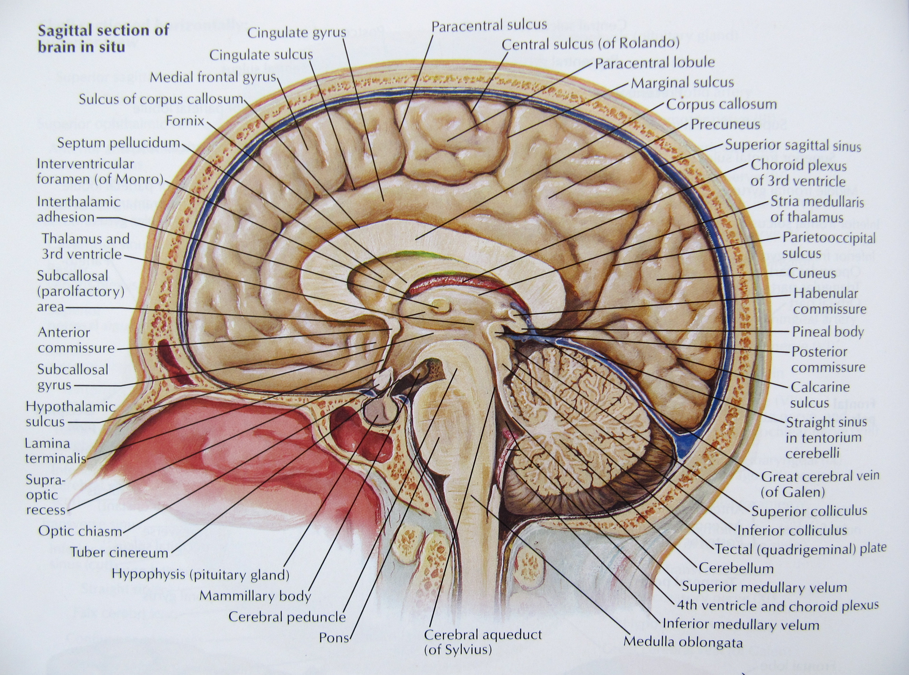 Notes On Anatomy And Physiology The Mobile Nervous System