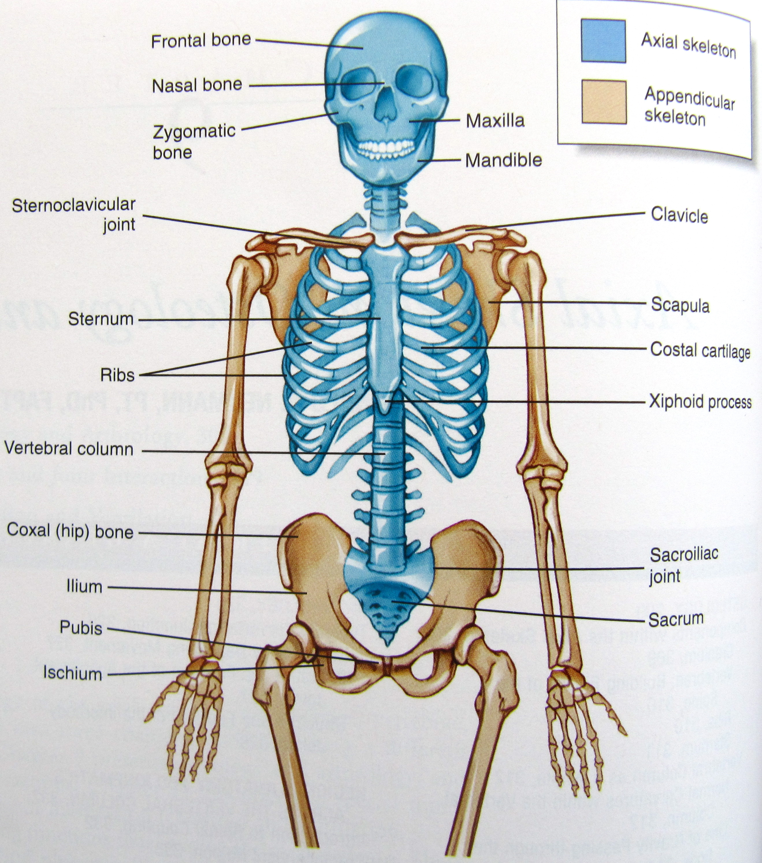 Notes On Anatomy And Physiology The Spinal Column