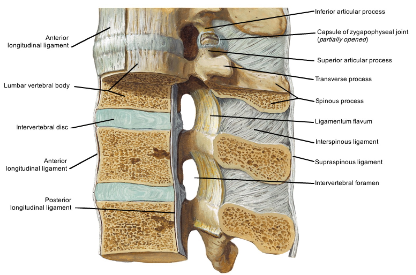 Notes On Anatomy And Physiology The Spinal Ligaments