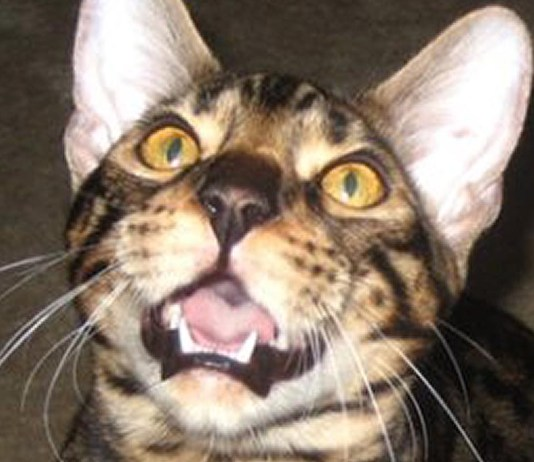 how to get bengal cat to use the litter box feat