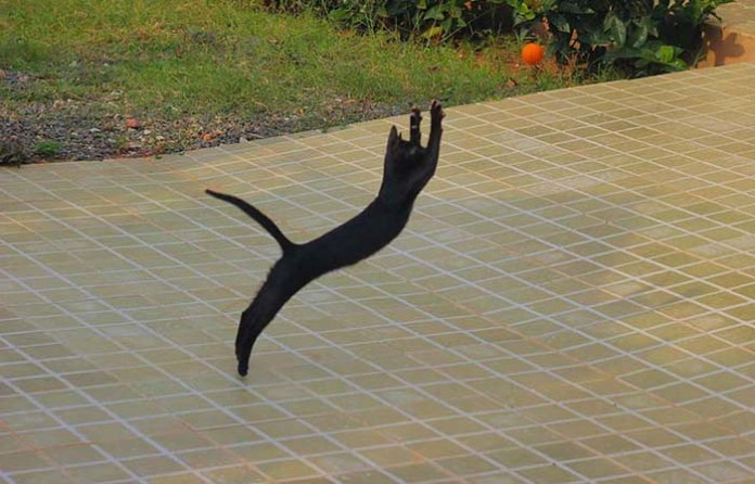 skinny black cat leaps outdoors leap day