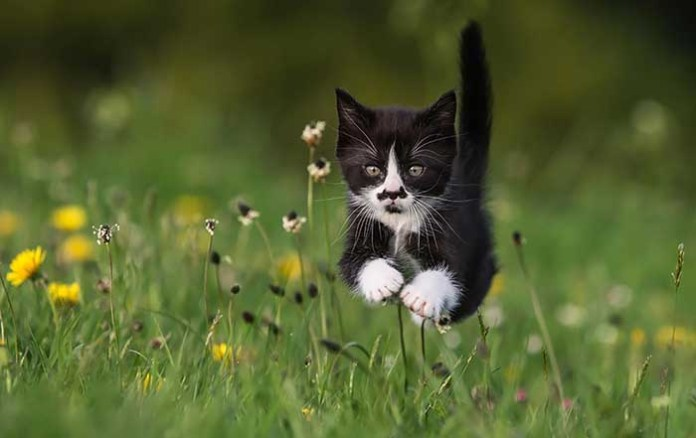 tuxedo cat jumps in the grass leap day