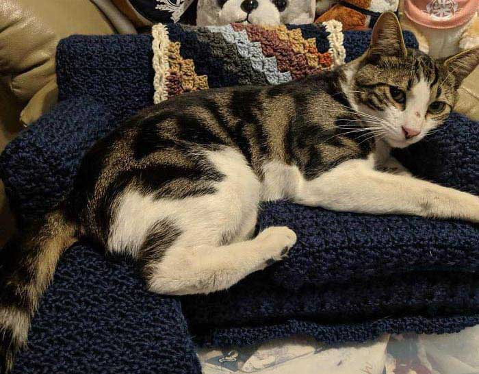 an adorable tabby and white cat lalys on a dark blue crochet cat couch