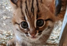 rusty-spotted wild cat kitten