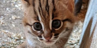 rusty-spotted wild cat kitten