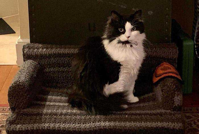 a tuxedo persian cat sits on a grey crochet cat couch