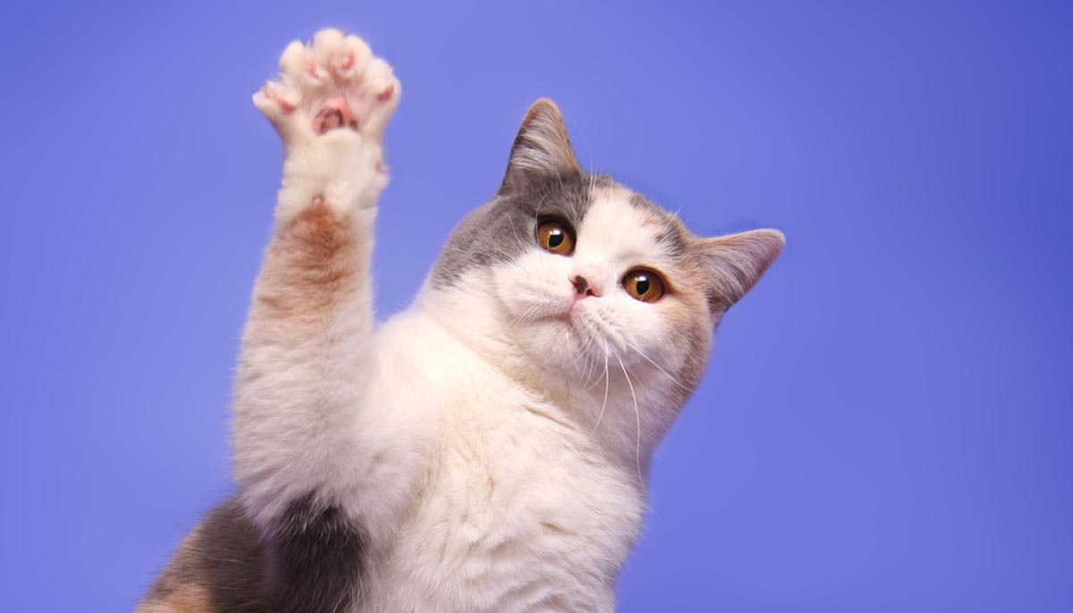 Why Does My Cat Wave Its Paw at Me and Other Funny Cat Habits Explained •  IttyKitty.com