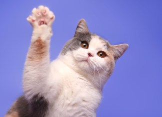 a cute calico cat raises its paw against a blue background
