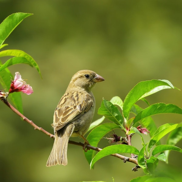 yellow bird on a tree with pink flowers