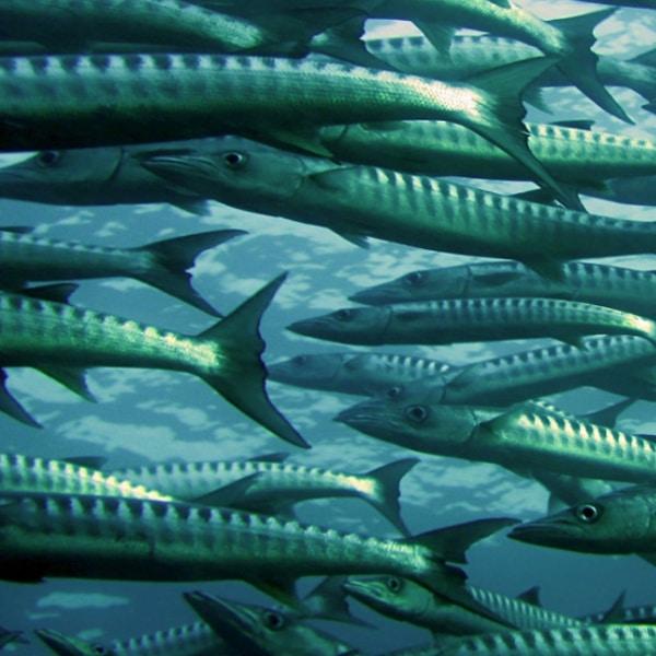 shool of fish in ocean