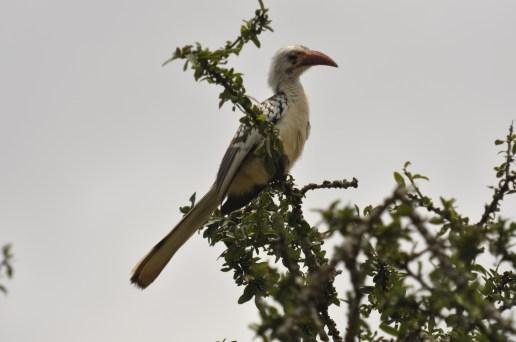 Red-billed hornbill_TRSR