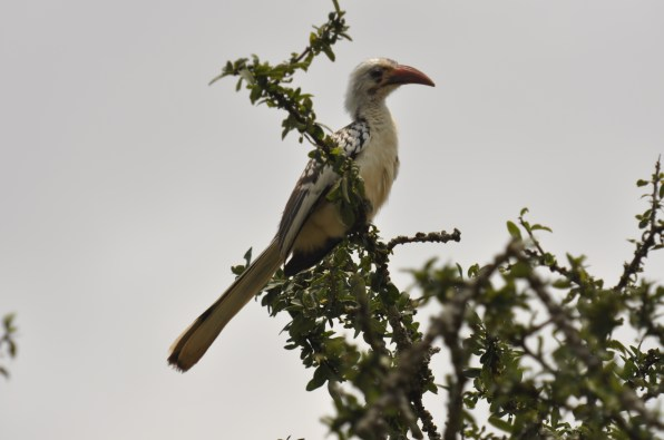 Red-billed hornbill_TRSR