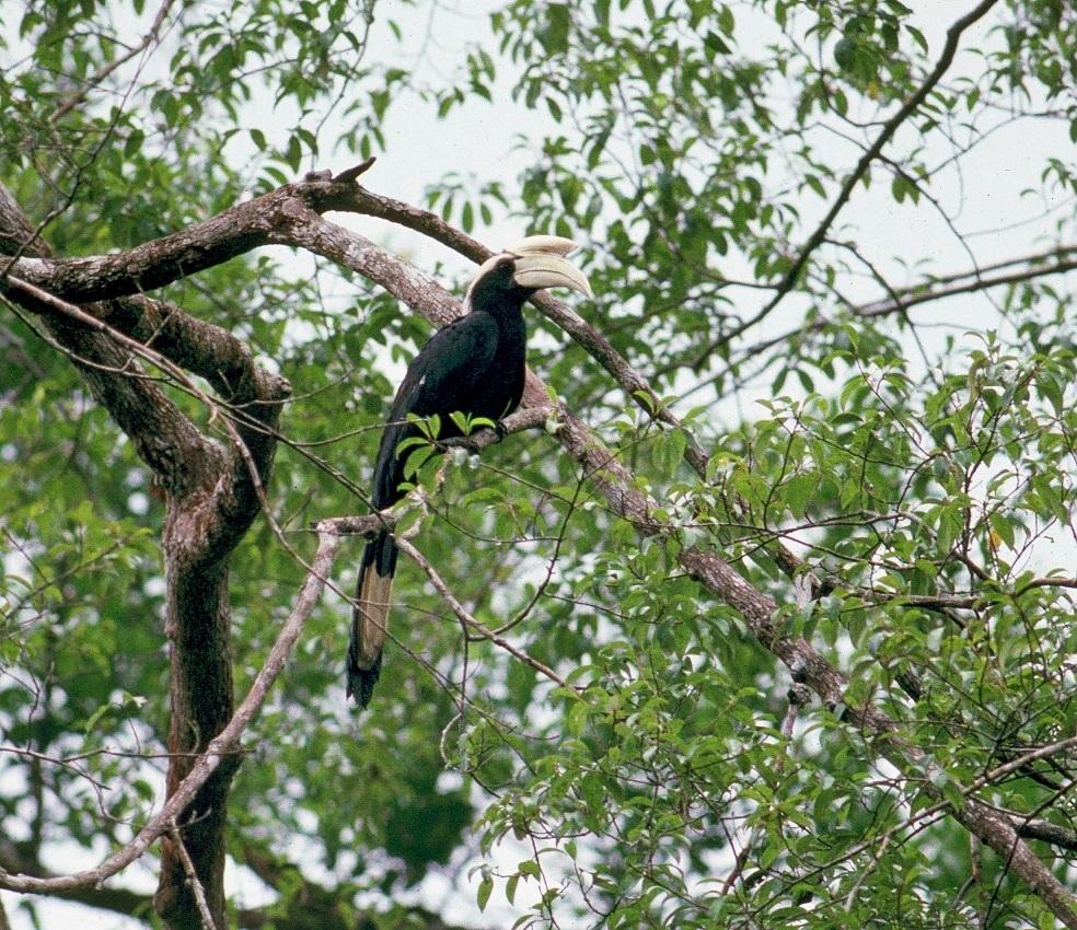 Black Hornbill male Borneo Photo Morten Strange