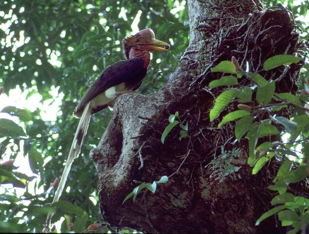 Helmeted Hornbill Box 2 breeding sites male at nest Thailand Photo Morten Strange