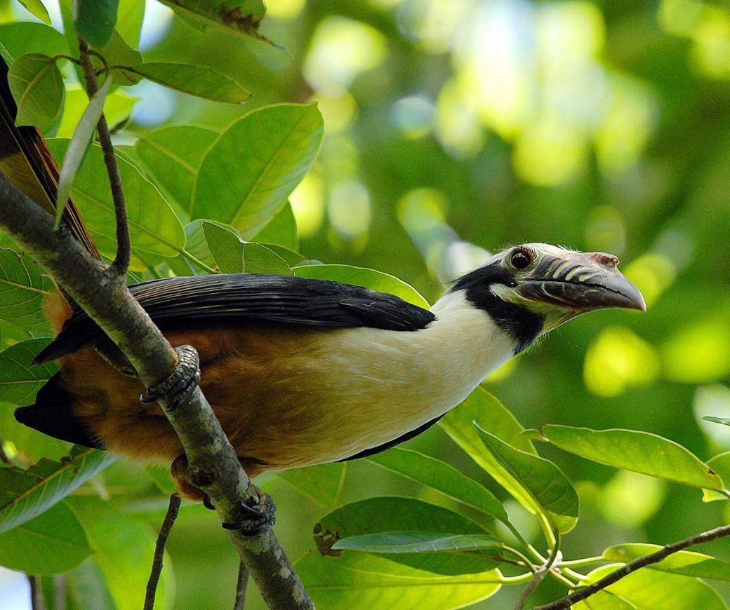 Visayan Tarictic Hornbill male1 Lorenzo Vinciguerra Panay Island