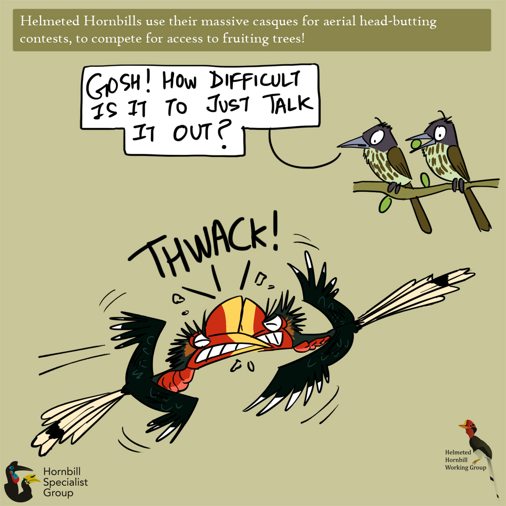 helmeted hornbill cartoons_web 2