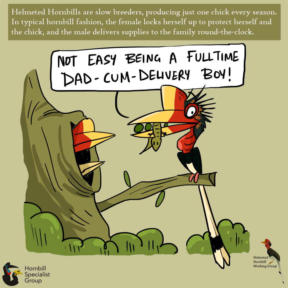 helmeted hornbill cartoons_web 4