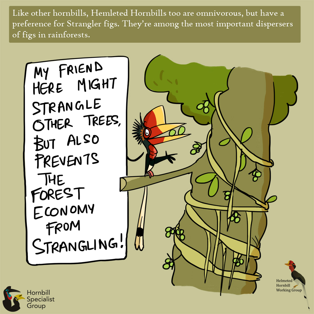 helmeted hornbill cartoons_web 6