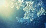 winter-fir-foliage